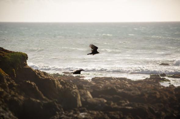 Cambria Birds-1