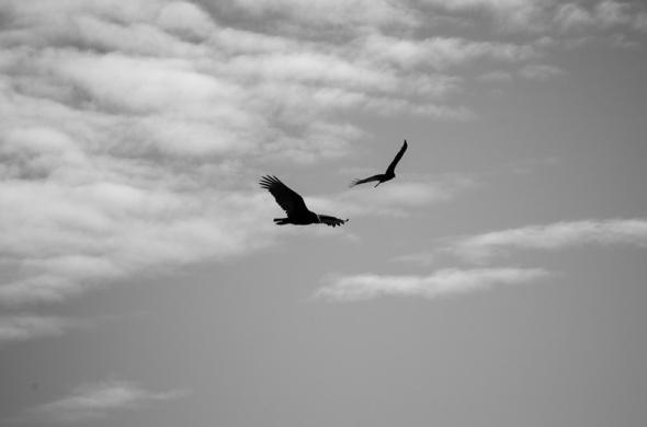 Cambria Birds-9